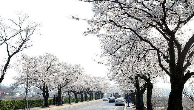 帶你去看韓國最美櫻花