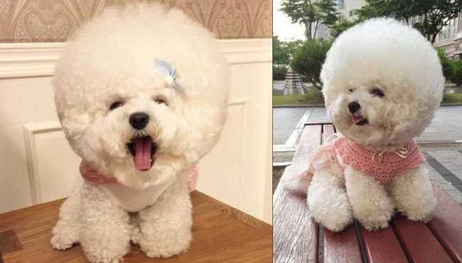 韓國比熊犬惹人喜愛
