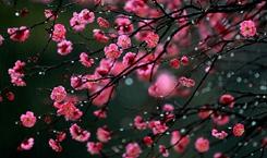 韓國釜山:春雨潤物 梅花別樣紅
