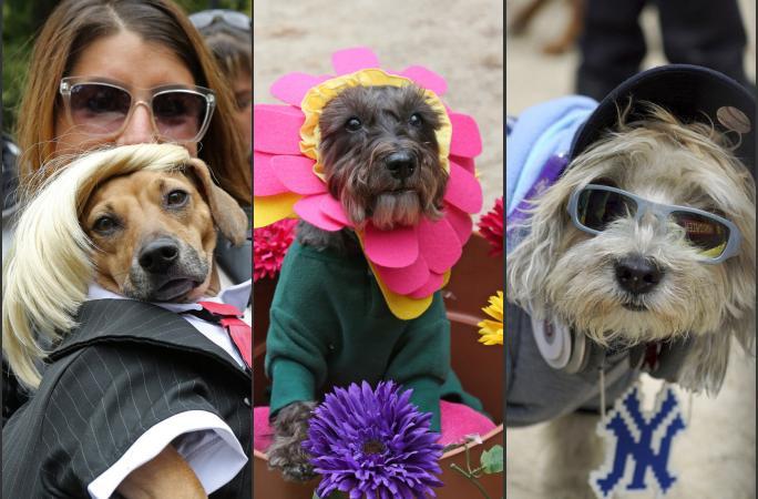 할로윈 데이 강아지들의 분장 퍼레이드: 강아지들이 폭소 등장
