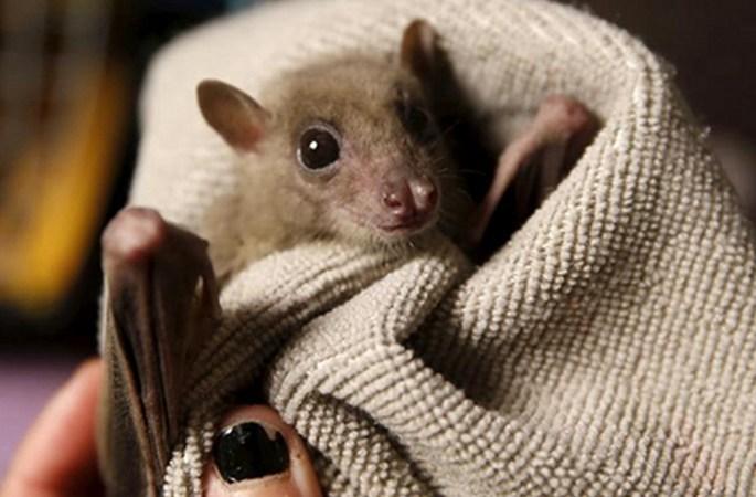 이스라엘 한 여성, 집에서 70마리 다친 박쥐 키워