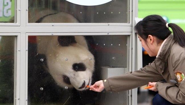 中國大熊貓22年後重返韓國 愛寶樂園成熊貓新家