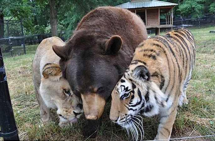 미국 동물 수용소서 범,사자,곰 15년 함께