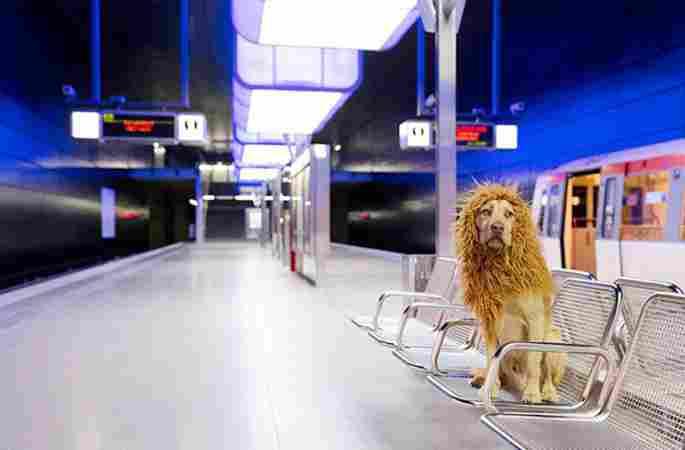 스페인의 유기견, 사자 코스프레로 인터넷 스타 등극