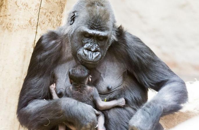 체코 24살 비만 오랑우탄, 성공적으로 새끼 출산