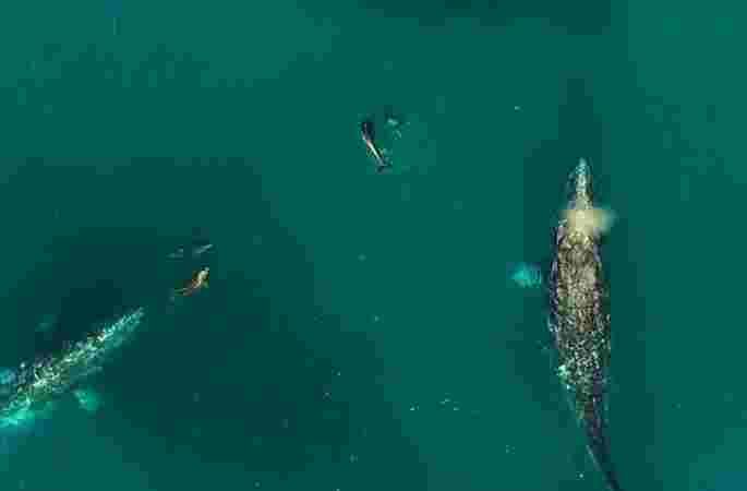 고래와 큰돌고래가 함께 장난치는 화면 포착