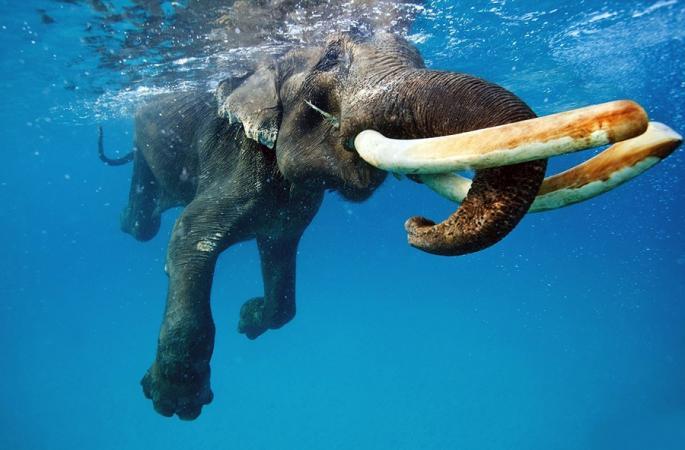 인도코끼리 수중 촬영