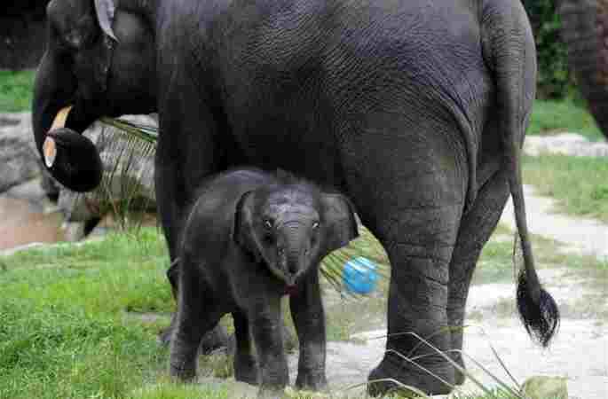 싱가포르 밤 사파리서 갓 태어난 새끼 코끼리 첫 등장