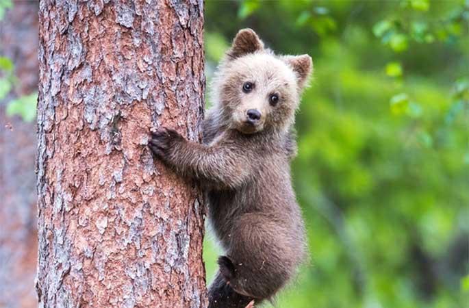 핀란드, 아기곰 나무 오르기 배우는 모습 사랑스러워