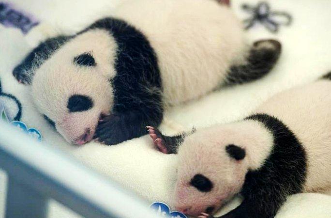 마카오 쌍둥이 판다 출산 만 한달째... 건강하게 자라