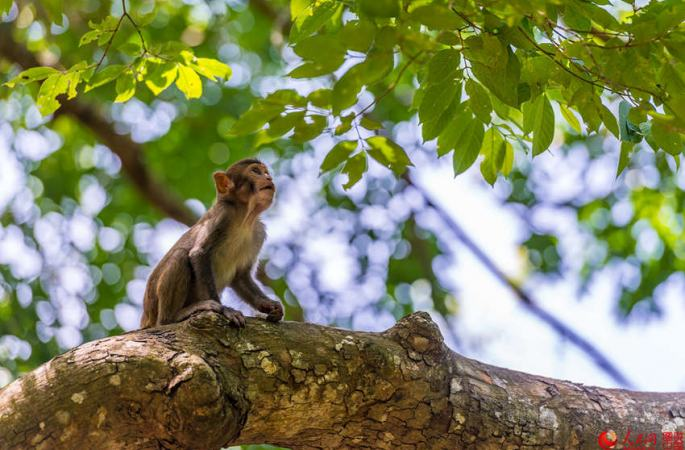 세계 유일의 붉은털원숭이 보호구역, 하이난 난완허우다오