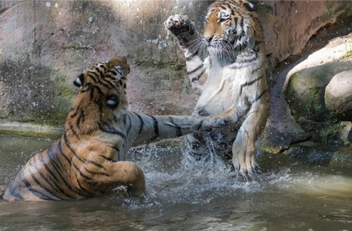 호랑이 형제의 맹렬한 싸움,역시 '밀림의 왕'