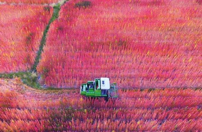 [드론으로 본 중국]융창: '화끈한' 퀴노아의 황홀한 향기