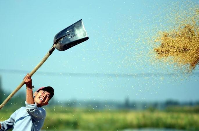 수확의 기쁨…신장 이리 벼가 익었다