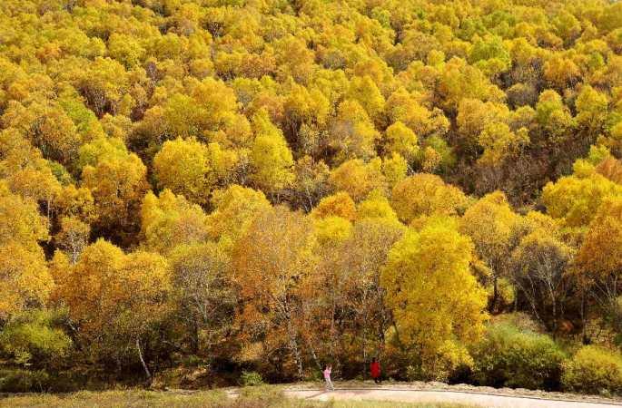 금추 10월 황금빛 옷을 갈아입은 자작나무