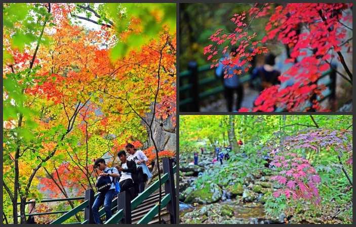 랴오닝 번시, 붉게 물든 단풍나무 관광객 매료