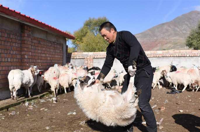 """합작사의 천지는 넓다——""""양치기"""" 자오쉐원의 빈곤 탈출의 길"""