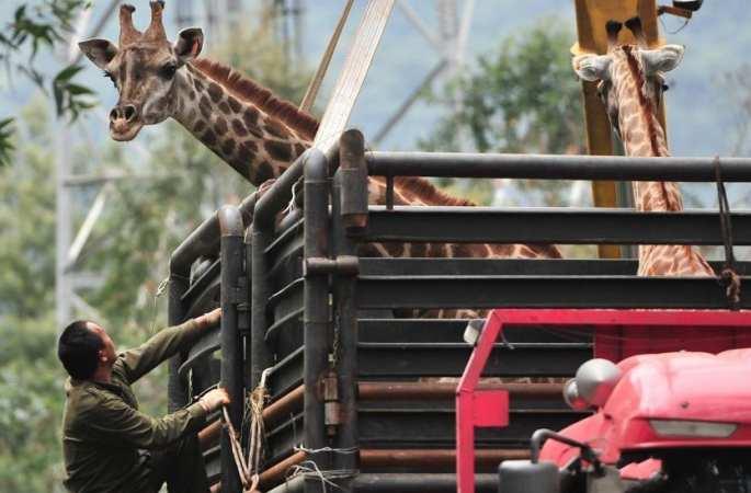 中 윈난야생동물원 기린들 '새 집'에 이사...크레인, 트럭 함께 '출전'