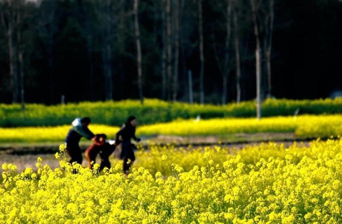 장시 수이촨 유채꽃 만발