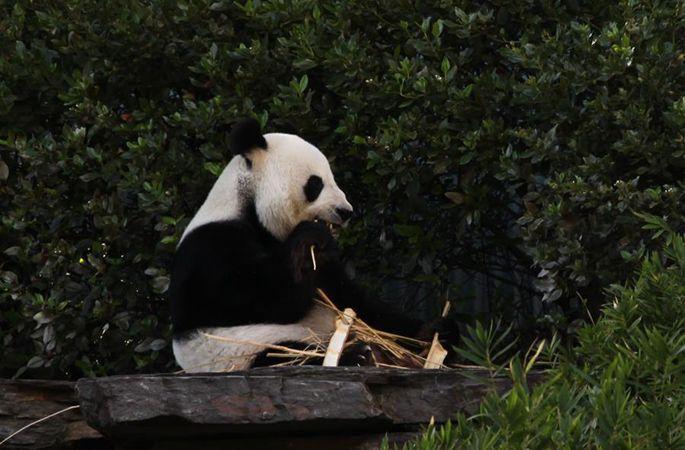 애들레이드 동물원의 인기스타 자이언트 팬더