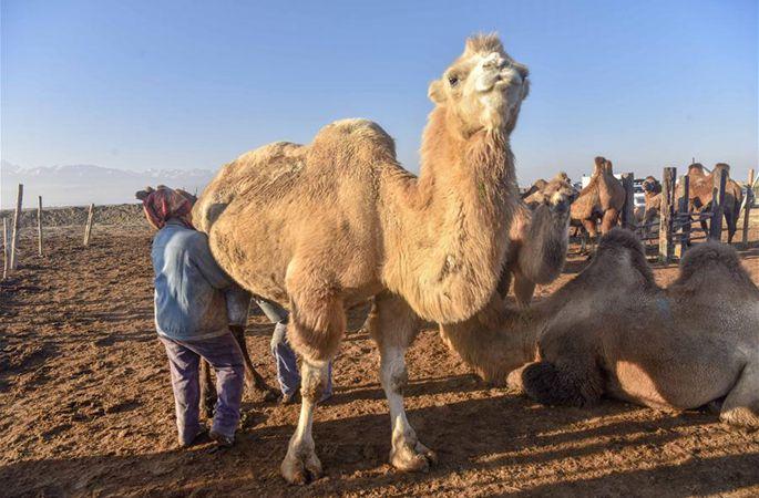 신장: 목축민들 '사막의 배'로 부를 창조