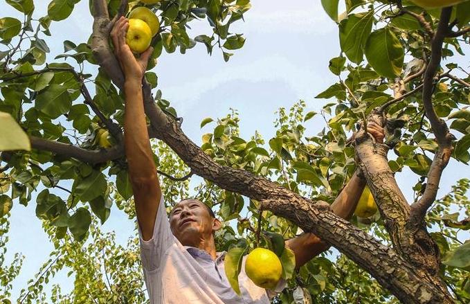 허베이 광양: 깊어가는 가을, 익어가는 과일 향기